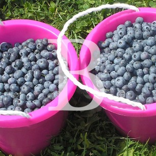 Blog Post: B is for Blueberry Picking with Memere Rose