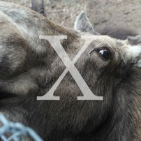 Blog Post: X is for Moose X-ing and a Visit to the Maine Wildlife Park in Gray Maine