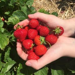 Strawberry Picking Maxwells Farm (9)