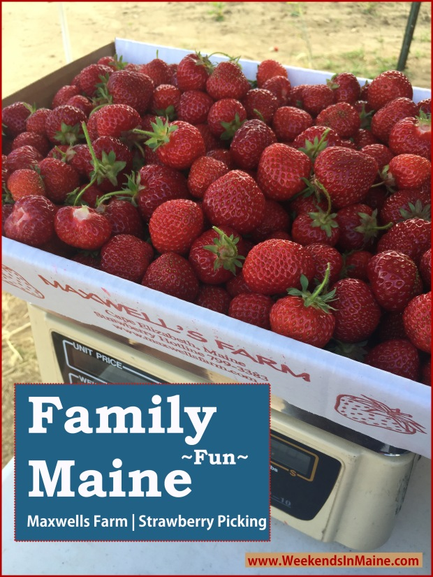 Strawberry Picking at Maxwell's Farm | Cape Elizabeth, Maine