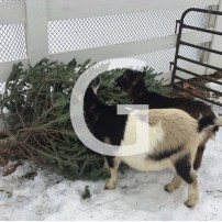 G is for Goats and an Adorable Way to Recycle Our Christmas Trees