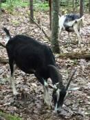 Goats (12)