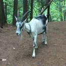 Goats (13)