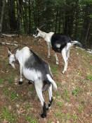 Goats (14)