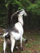 Goats (15)