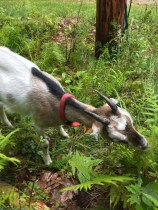 Goats (20)
