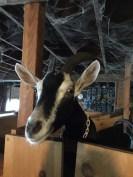 Goats (4)