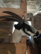 Goats (6)