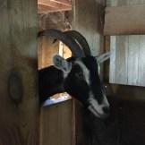 Goats (8)